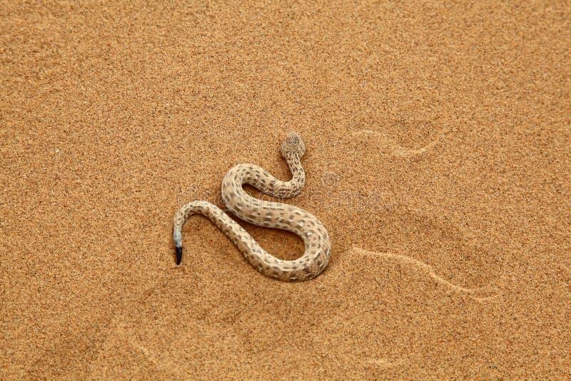 Muoversi del serpente di crepitio del Sidewinder immagine stock
