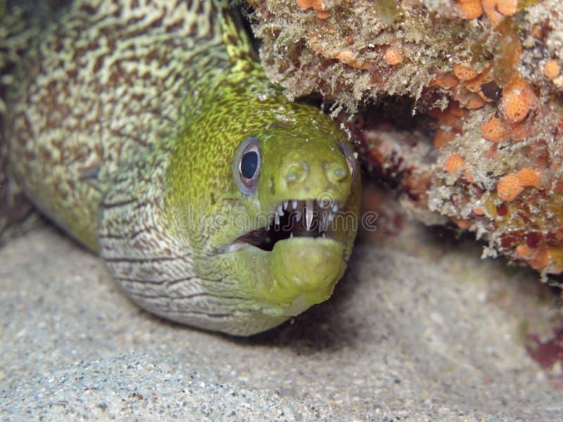 Murène ondulée - Gekronkelde moray royalty-vrije stock foto's