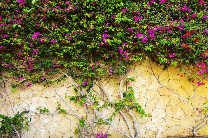 Mur avec les fleurs rouges et blanches Un bloomin floral naturel de ressort image libre de droits