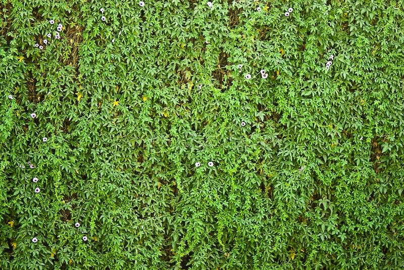 mur couvert de verdure et de fleur image stock image du. Black Bedroom Furniture Sets. Home Design Ideas