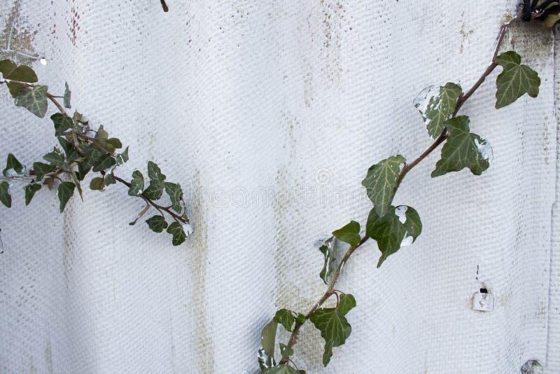 Mur d'amiante mur d'ardoise de gris et de blanc avec les feuilles vertes Taches de Brown sur l'ardoise photos libres de droits