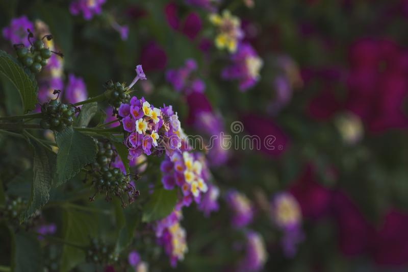 mur de jardin de fleurs de camara de lantana photo libre de droits
