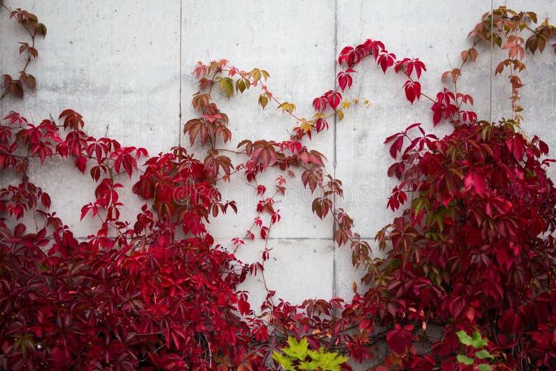 Mur en béton couvert dans le lierre de feuilles rouges images libres de droits