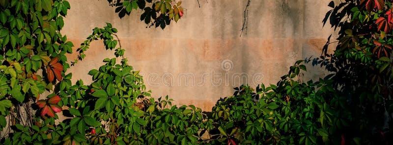Mur en béton couvert de branches des raisins sauvages Drapeau de Web image stock