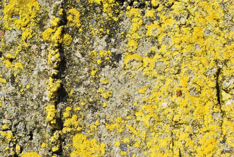 Mur en béton de vieille texture approximative grise avec de la mousse jaune, fond horizontal grunge de texture image stock