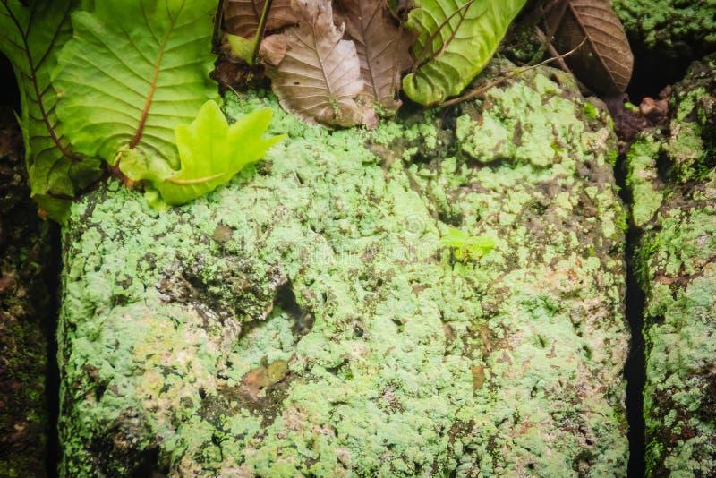 Mur en pierre de latérite avec la croissance d'herbe et de mousse formant beau texturisé sur la surface pour le fond Vieux textu  photos libres de droits