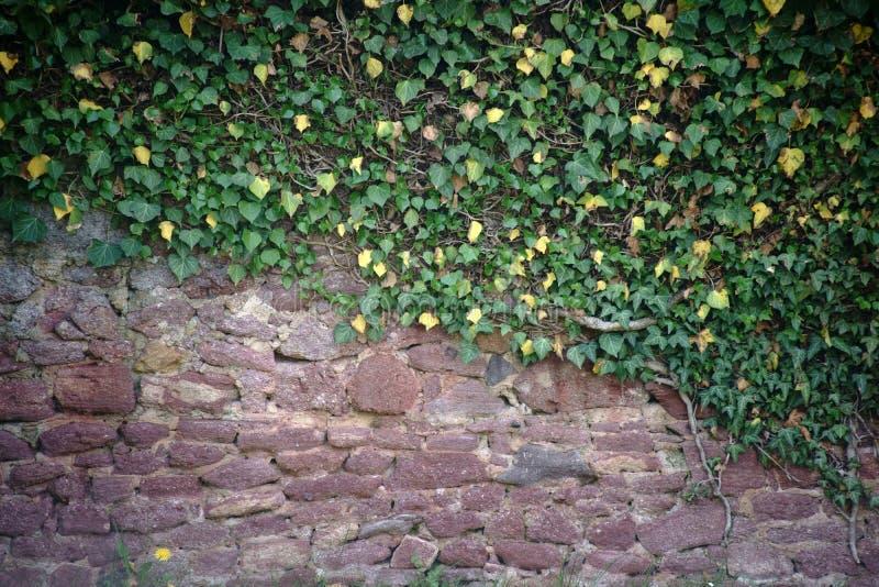 Mur rustique avec l'usine s'élevante photos stock