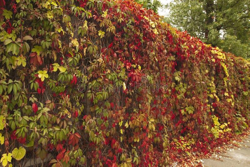 Mur sauvage de raisins en parc Feuilles colorées Belles feuilles colorées dans le jardin d'automne image libre de droits