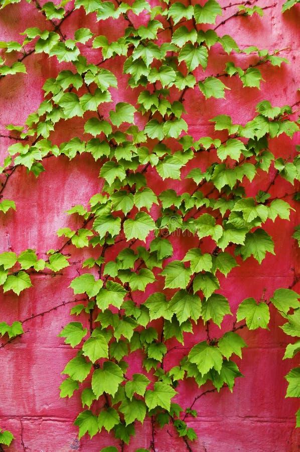 mur vert de rose de lierre images libres de droits