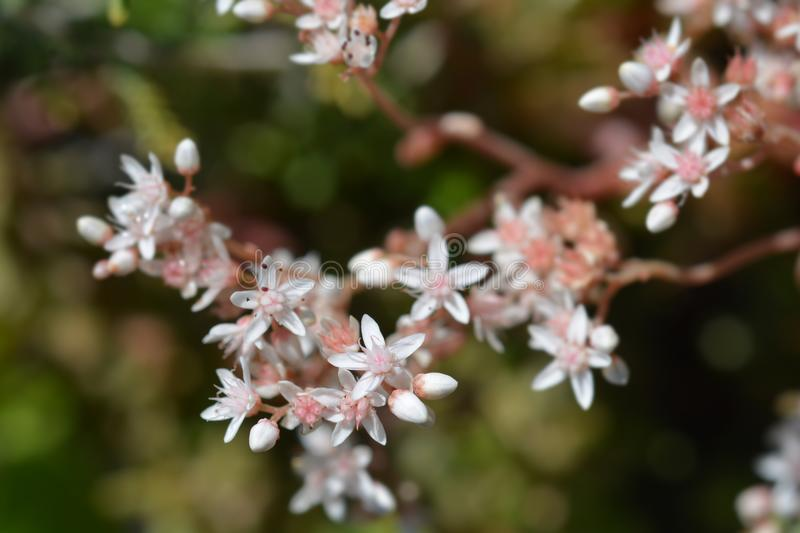 Murale White Stonecrop royalty free stock images