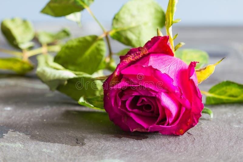 Murchando a rosa e as folhas no fundo da ardósia imagem de stock royalty free