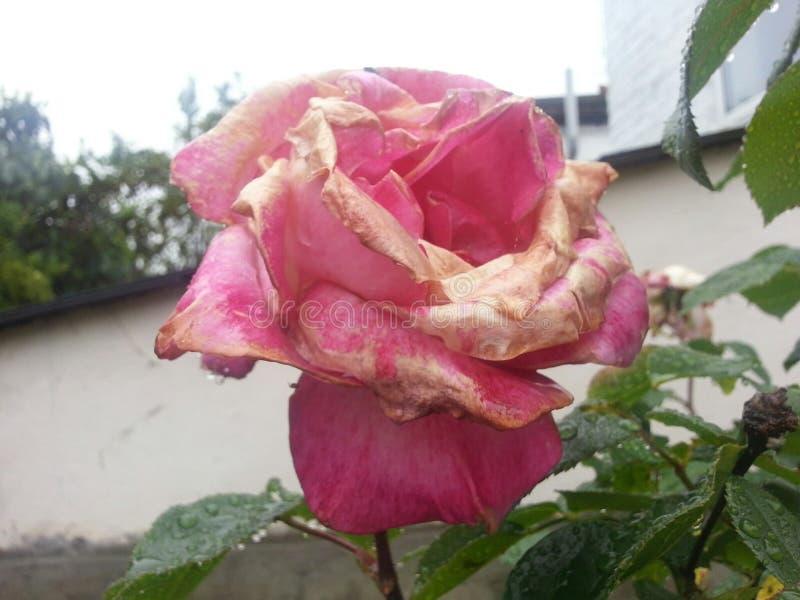 Murchando Rose Flower vermelha cor-de-rosa imagens de stock royalty free
