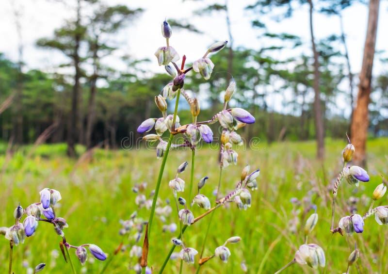Murdannia giganteum, flores forestales creciendo en la cima de las montañas en Phu Soi Sao, Uttaradit, Tailandia fotos de archivo