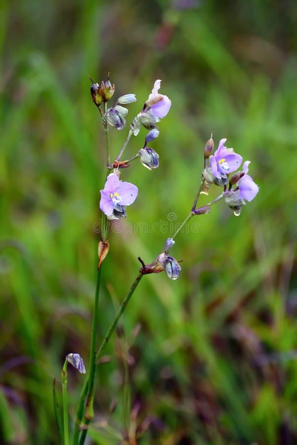 Free Murdannia Giganteum Vahl Br Violet The Landrace Flower In Nation Stock Image - 34188691