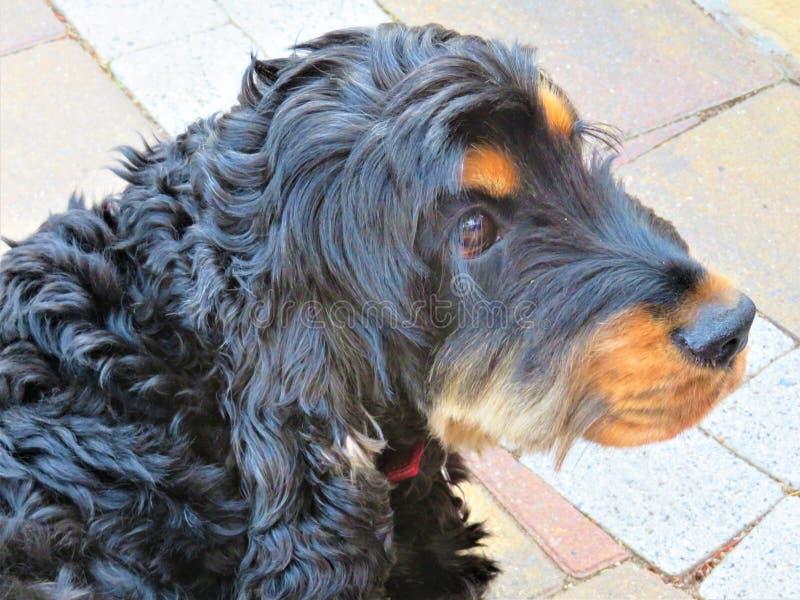 Murdoc、黑和棕褐色的猎犬和知己 图库摄影