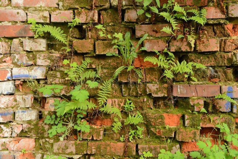 Mure a parede de tijolo coberto de vegetação, antiga, fundo, textura, dil velho fotos de stock