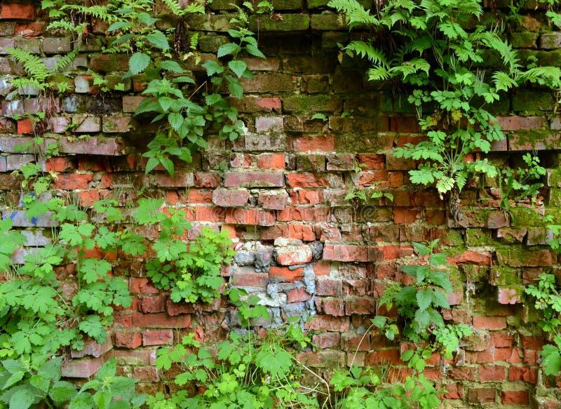 Mure a parede de tijolo coberto de vegetação, antiga, fundo, textura, dil velho fotografia de stock royalty free