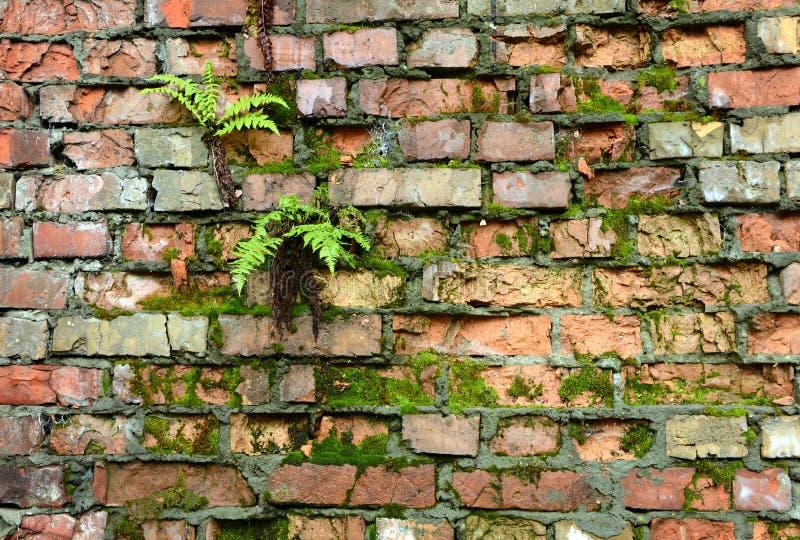 Mure a parede de tijolo coberto de vegetação, antiga, fundo, textura, dil velho imagens de stock
