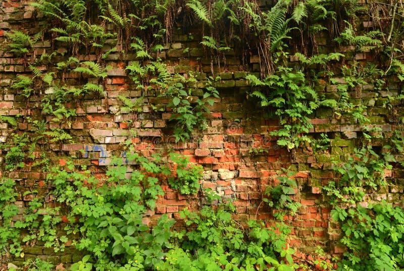 Mure a parede de tijolo coberto de vegetação, antiga, fundo, textura, dil velho imagem de stock