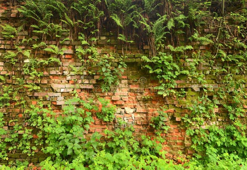 Mure a parede de tijolo coberto de vegetação, antiga, fundo, textura, dil velho imagem de stock royalty free