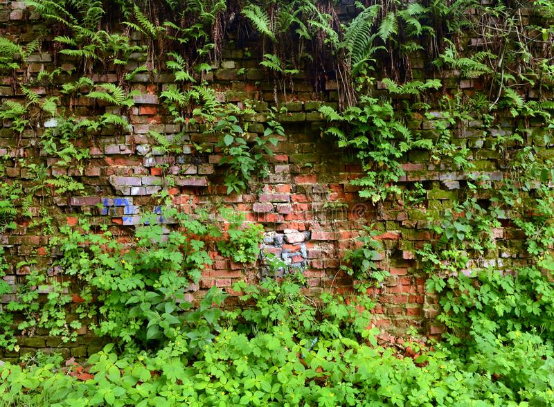 Mure a parede de tijolo coberto de vegetação, antiga, fundo, textura, dil velho fotografia de stock