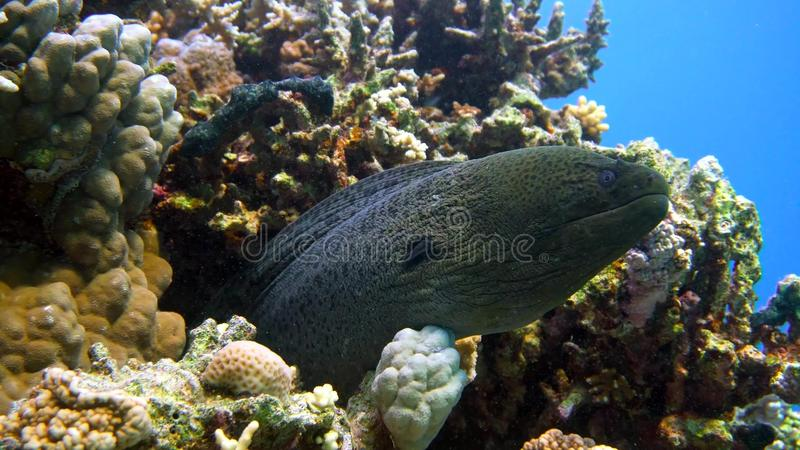 Download Murena on Coral Reef stock photo. Image of stripy, coral - 109114764