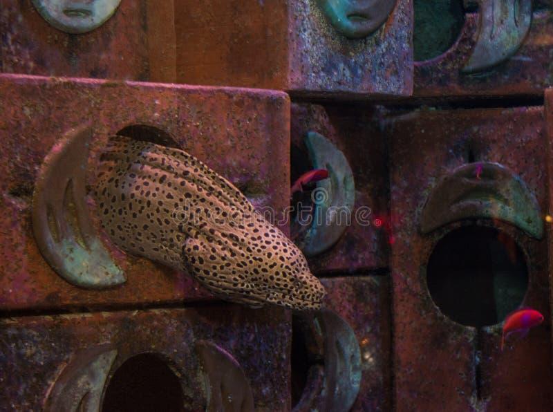Murena enorme nell'acquario fotografia stock