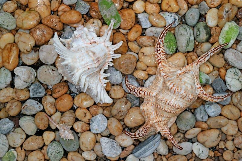 Murex natural Ramosus Shell y araña Shell en la playa de la piedra del guijarro imagen de archivo libre de regalías