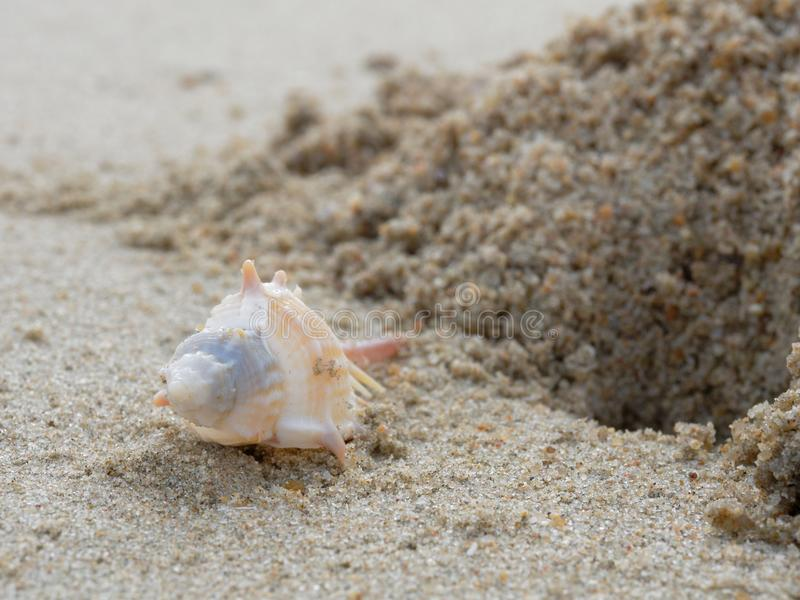 Murex robusto branco e marrom da espinha com furo e pilha da areia sobre o fundo da praia imagem de stock