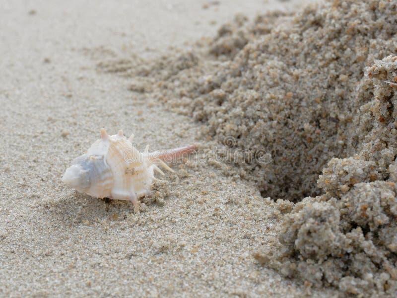 Murex robusto branco e marrom da espinha com furo e pilha da areia sobre o fundo da praia fotos de stock royalty free