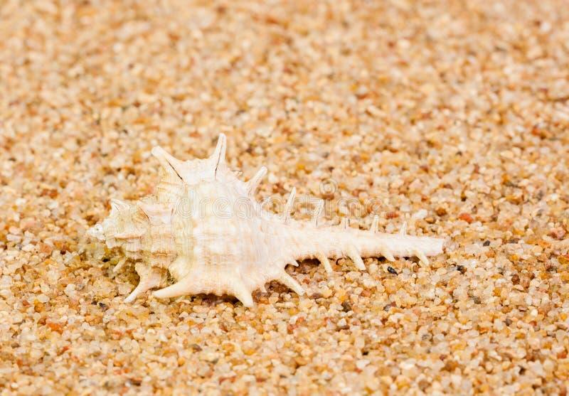 Murex Shell on Coarse Sand stock photos