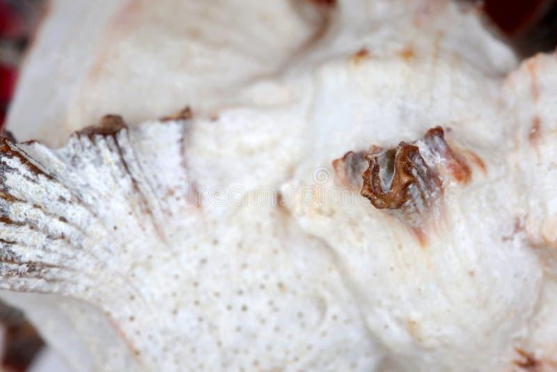 Murex spiny seashell isoleren royalty-vrije stock foto's