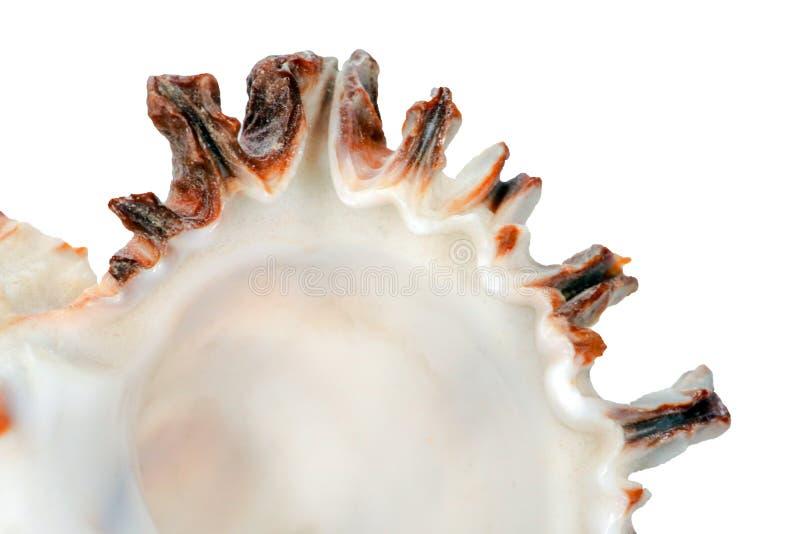 Murex spiny seashell isoleren royalty-vrije stock afbeeldingen