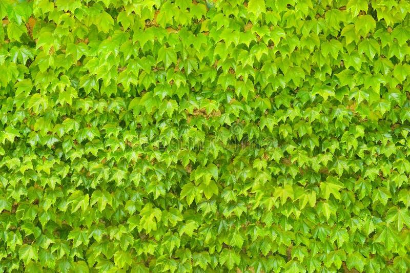 Murez le fond des feuilles vertes de l'usine de plantes grimpantes photographie stock