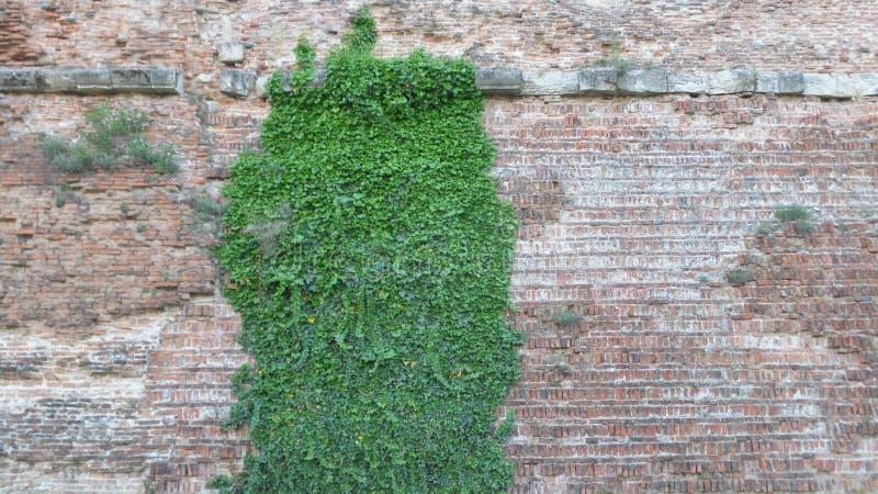Murgröna över väggen fotografering för bildbyråer