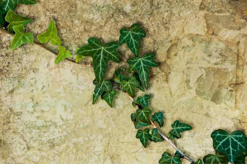 murgröna royaltyfria bilder