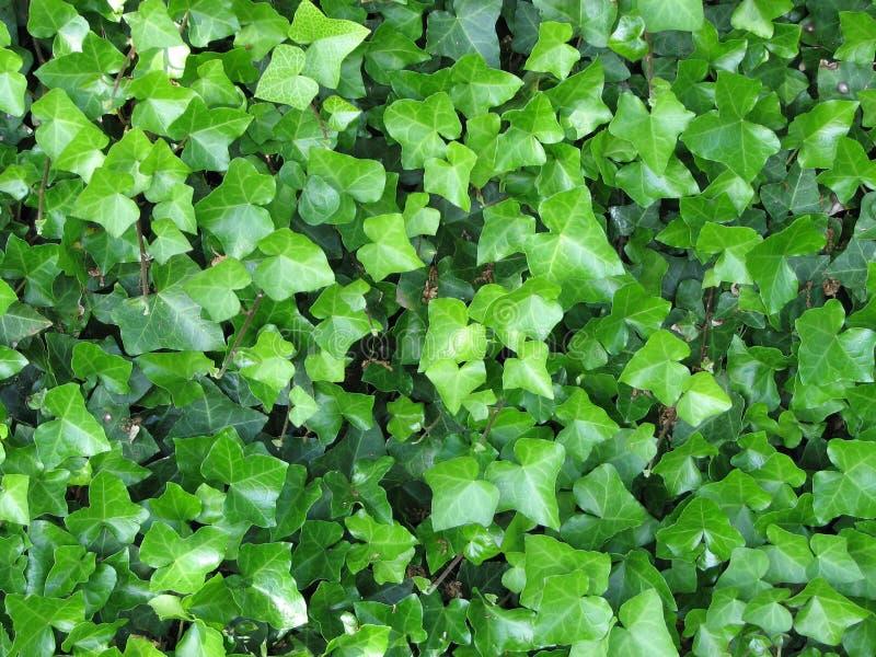 murgröna fotografering för bildbyråer
