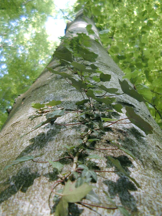 Download Murgröna arkivfoto. Bild av trän, tree, green, murgröna - 28710