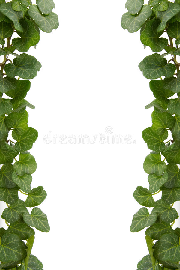 murgröna royaltyfria foton