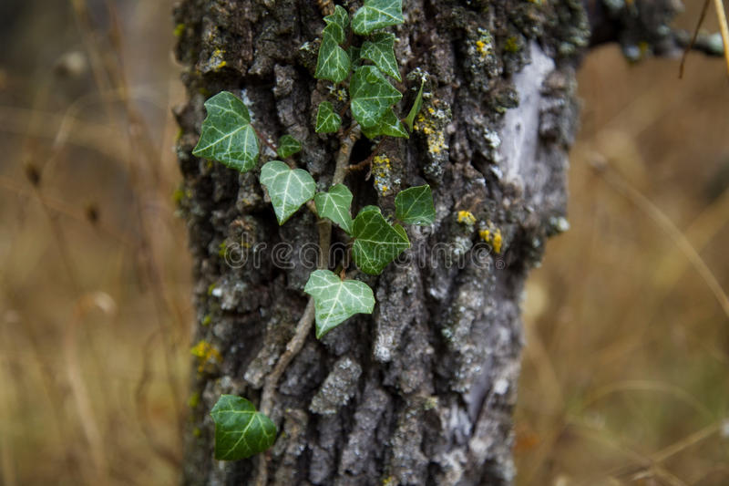 Murgröna och träd royaltyfri fotografi