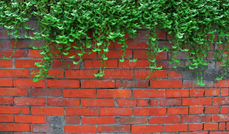 Murgröna på den gamla tegelstenväggen royaltyfri fotografi