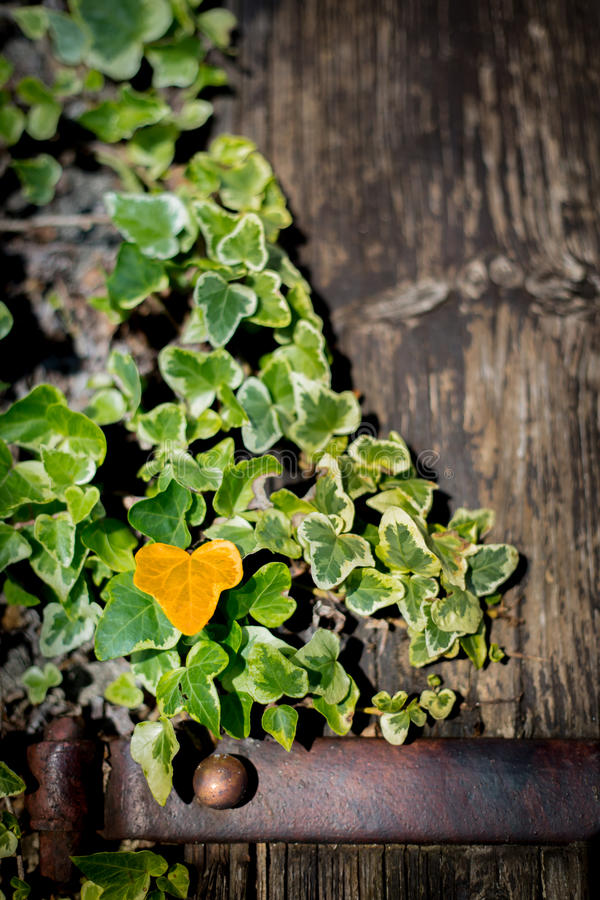 Murgröna på en trädörr royaltyfria bilder
