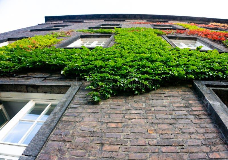 Murgröna på husväggen arkivfoton