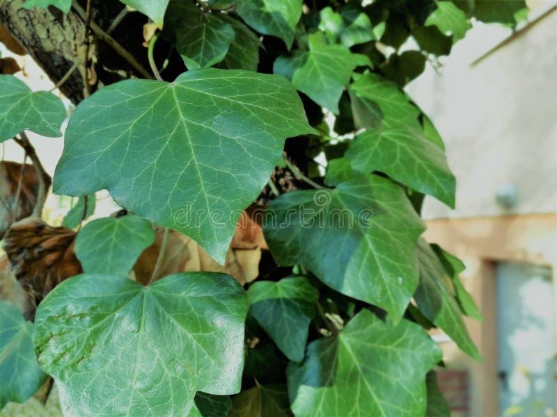 Murgröna på trädet arkivbild
