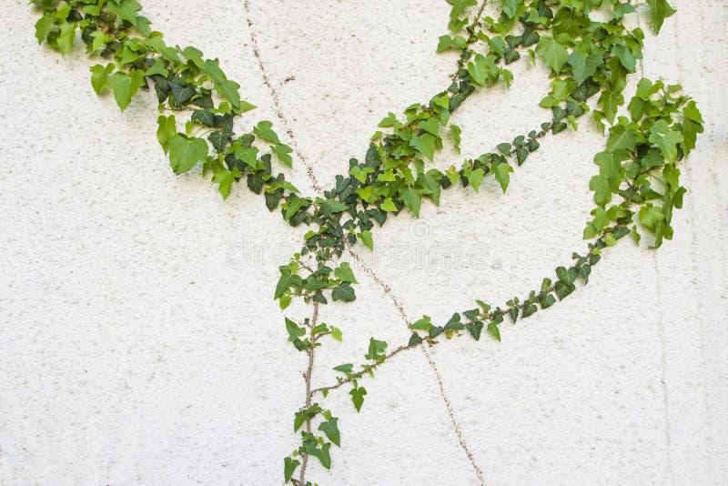 Murgröna på väggen av den förstörda byggnaden royaltyfri foto