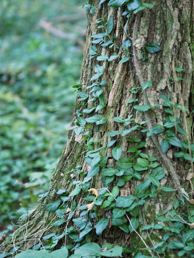 Murgröna som klättrar ett träd royaltyfria bilder