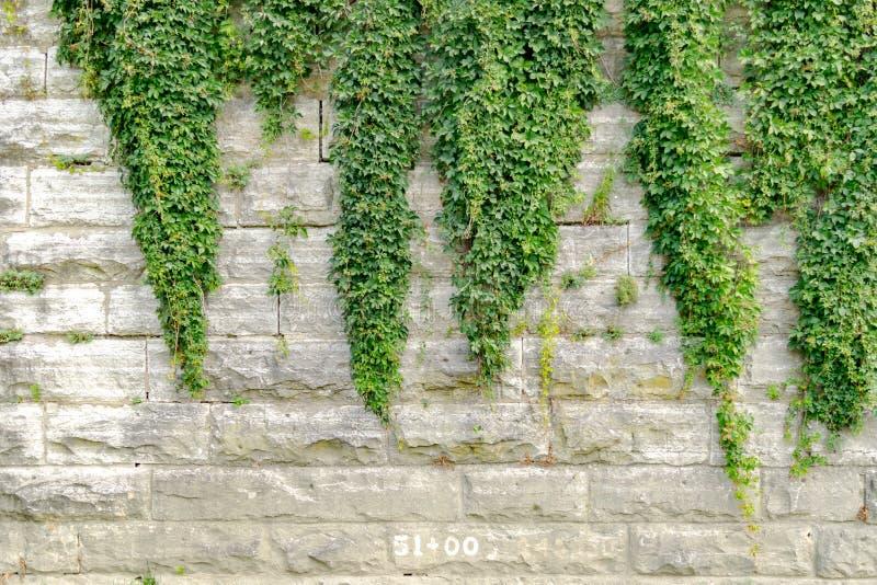 Murgröna som växer på en gammal konkret tegelstenvägg royaltyfri fotografi