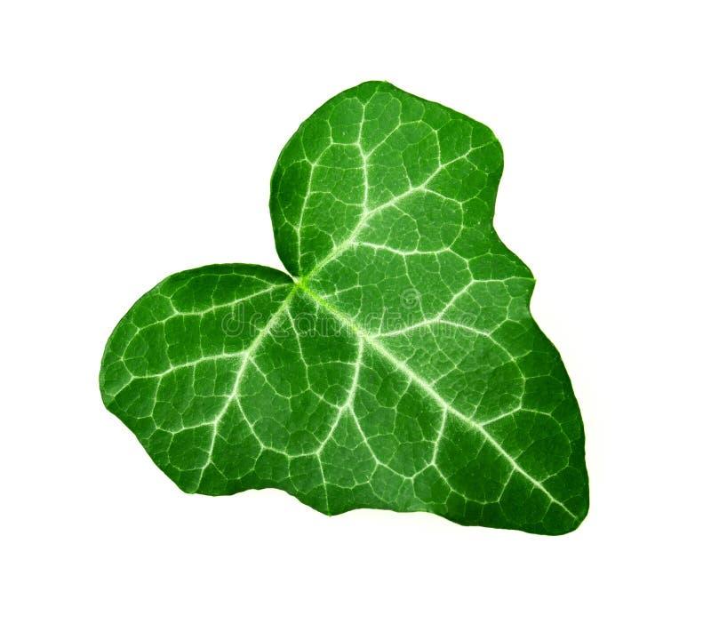 Murgrönablad royaltyfria bilder