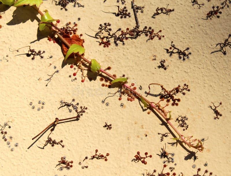 Murgrönafilialen med sidor och fragment av rotar på en vertikal väggyttersida royaltyfri fotografi