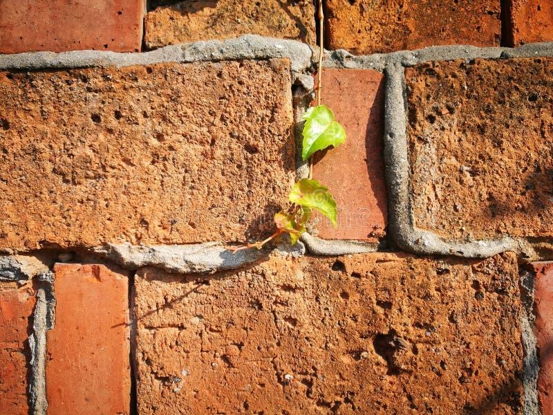 Murgrönafilialen som klänger väggen royaltyfri bild